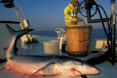 Nhiều người tưởng đang ăn cá hồi, cá kiếm nhưng thực ra là cá mập